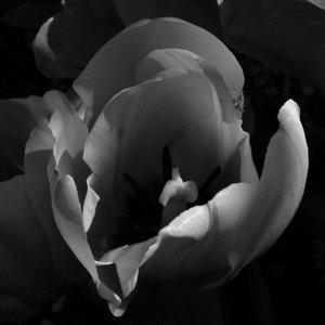 Tulips for Buddha
